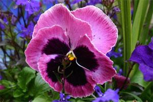 фиалка розовая садовая
