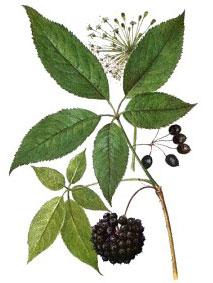 элеутерококк, части растения