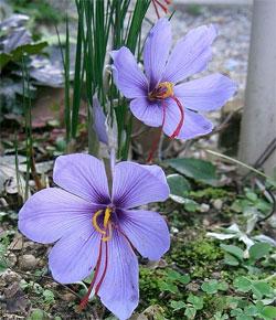 шафран, растение