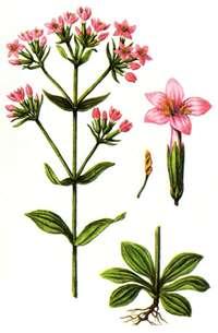 части растения золототысячника