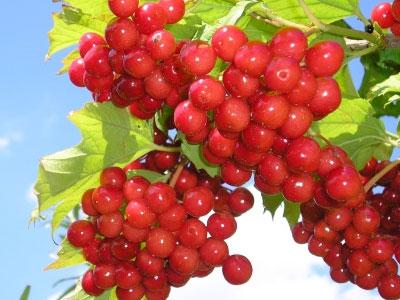 калина, ягоды