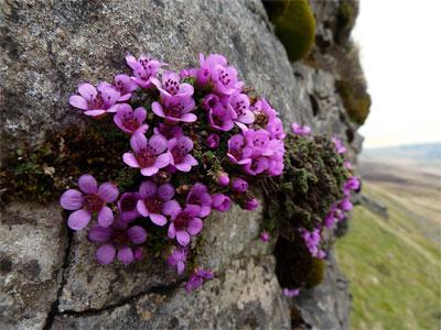 камнеломка на скале
