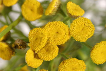 цветы канупера