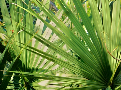 карликовая пальма, лист