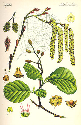 ольха, части растения