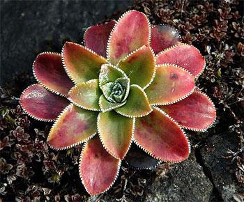 розетка листьев камнеломки пирамидальной