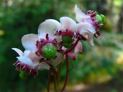 цветы зимолюбки