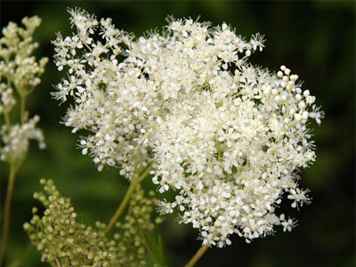 Лабазник, цветение