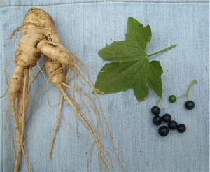 корень, лист, плод переступня