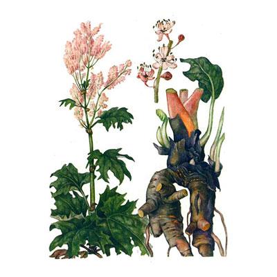 части растения ревень