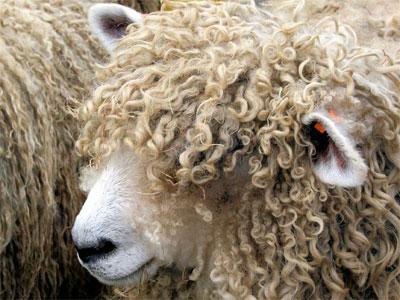 голова овцы