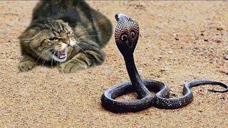 кобра атакует кота