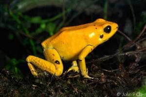 самая ядовитая лягушка - листолаз