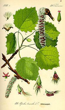 осина, части растения