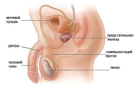 репродуктивные органы мужчины