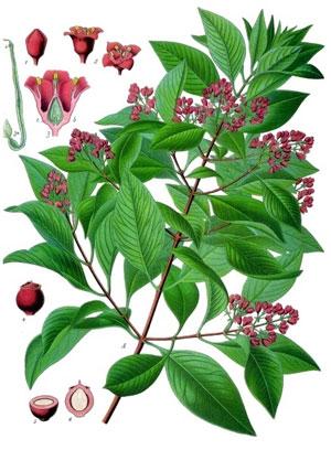 сандал, части растения