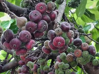 смоковница, винная ягода