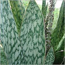 сансивеерия, лист