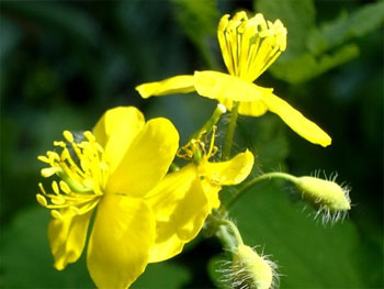цветы растения