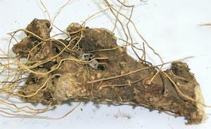 корень дикого ямса