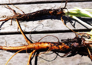 чернокорень фото где растет