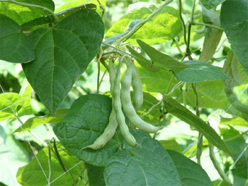растение фасоли
