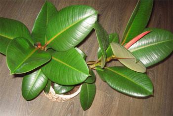 растение фикуса в горшке