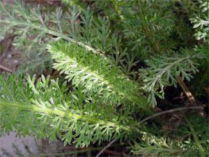 листья тысячелистника