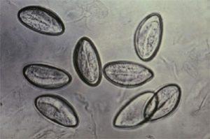 яйца остриц