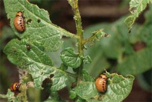 личинки объедают листья картофеля