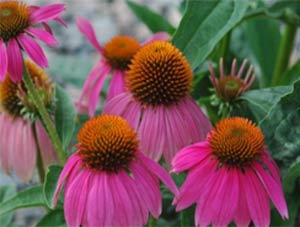 цветы эхинацеи