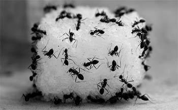 муравьи на кусочке сахара