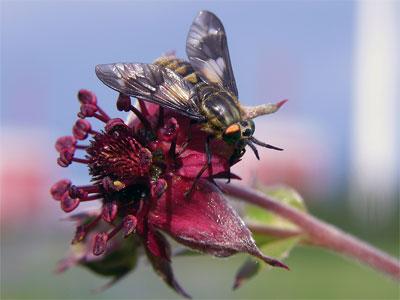 пчела на цветке сабельника