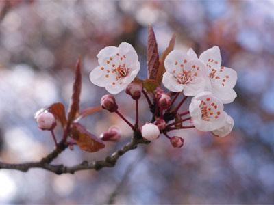 цветущая вишня