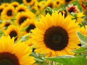 цветы подсолнечника