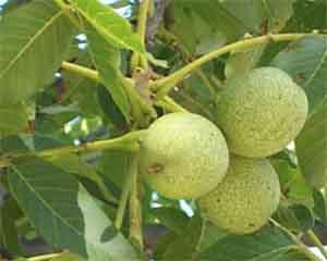 зеленые орехи
