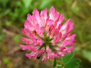 цветок клевера