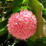 Бульденеж розовая