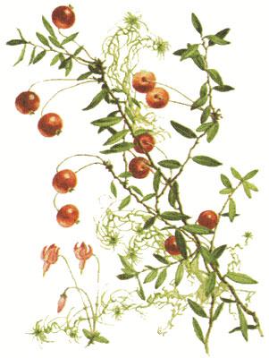 Клюква, части растения