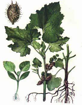 Дурнишник - части растения