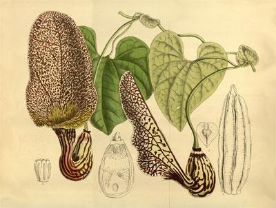 Части растения кирказон