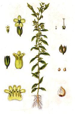 Воробейник - части растения