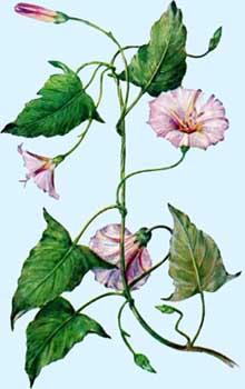 Растение вьюнок на рисунке