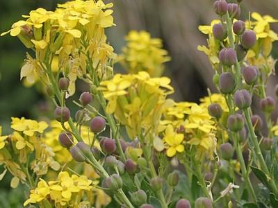 цветение желтушника раскидистого