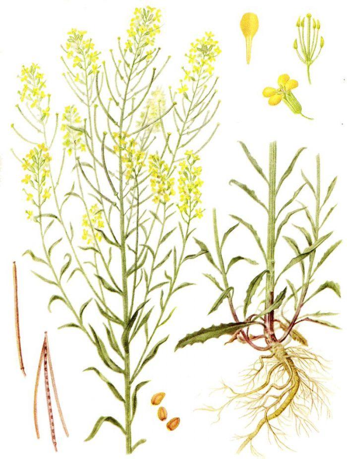 желтушник серый