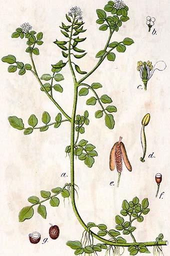 части растения жерухи