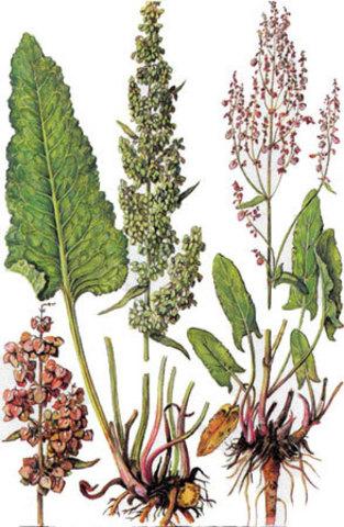 части растения конский щавель