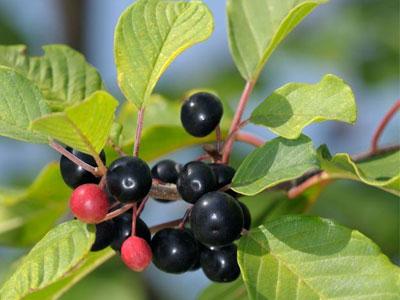 ягоды крушины