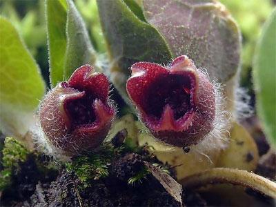 цветки копытня европейского