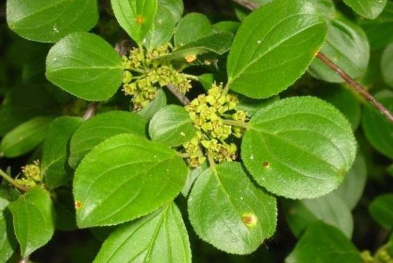 листья крушины и соцветия